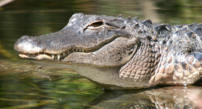 Alligator.ashx_.jpg